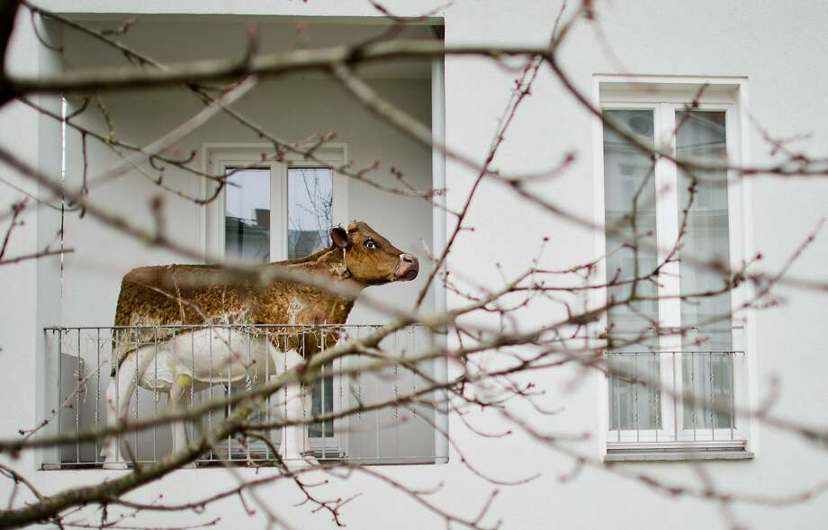 High-rise beef: Keeping cattle in your apartment is frowned upon Germany, so a resident of a complex in Hannover has to make do with an artificial bovine. Photo: Julian Stratenschulte, AFP/Getty Images