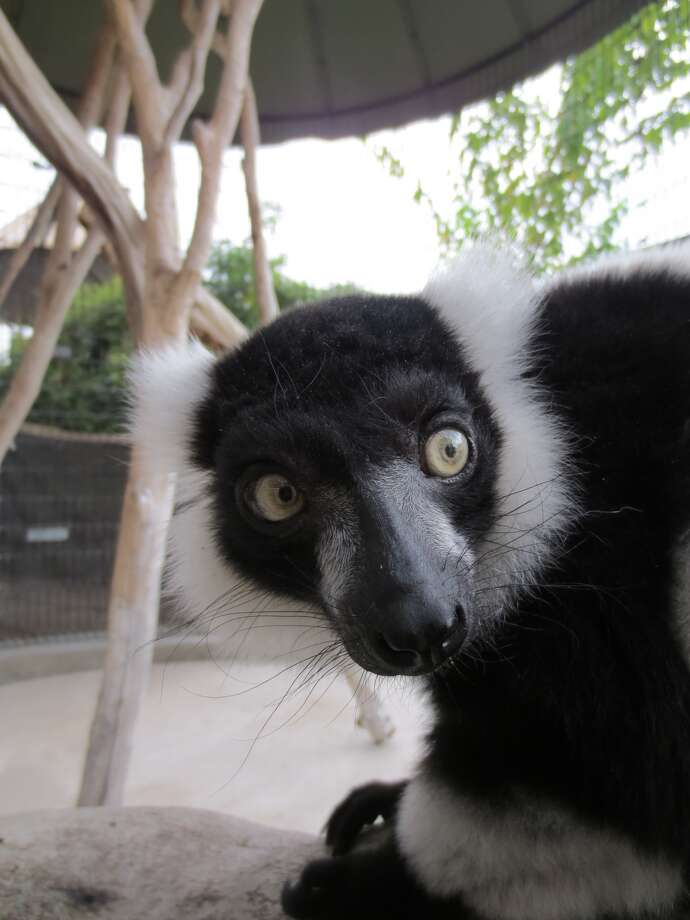 Allison is a 30-year-old lemur at the Houston Zoo. She has outlived two of her mates and receives acupuncture for a nagging arthritis problem. (Photo Courtesy Houston Zoo)