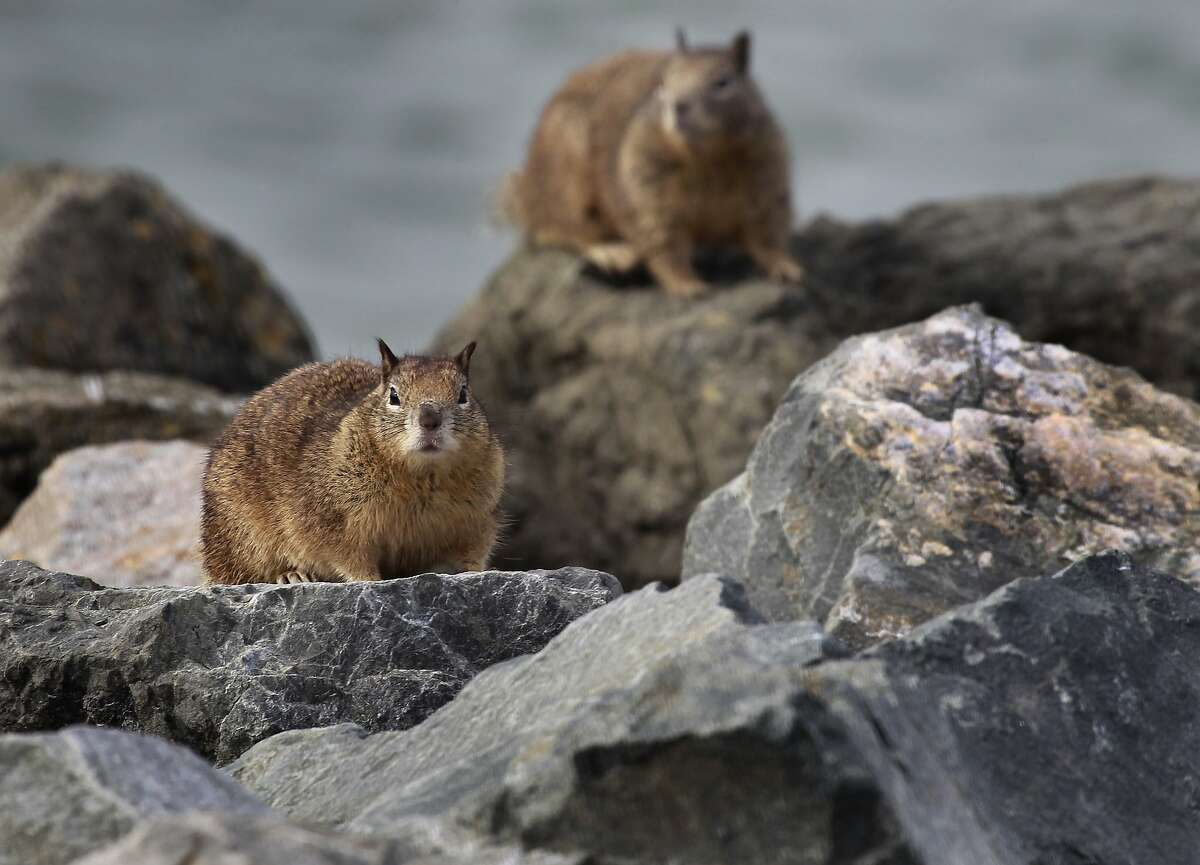 A pair of ground squirrels perch on rocks along the shore at Cesar Chavez Park in Berkeley, Calif. on Wednesday, Feb. 12, 2014.