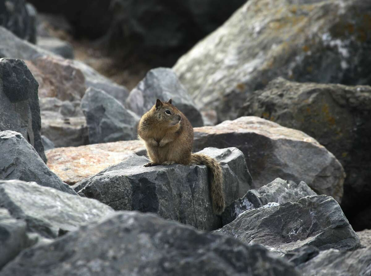 A ground squirrel is perched on rocks along the shore at Cesar Chavez Park in Berkeley, Calif. on Wednesday, Feb. 12, 2014. City officials plan to reduce the squirrel population at the popular bayside park, who's numbers are out of control.