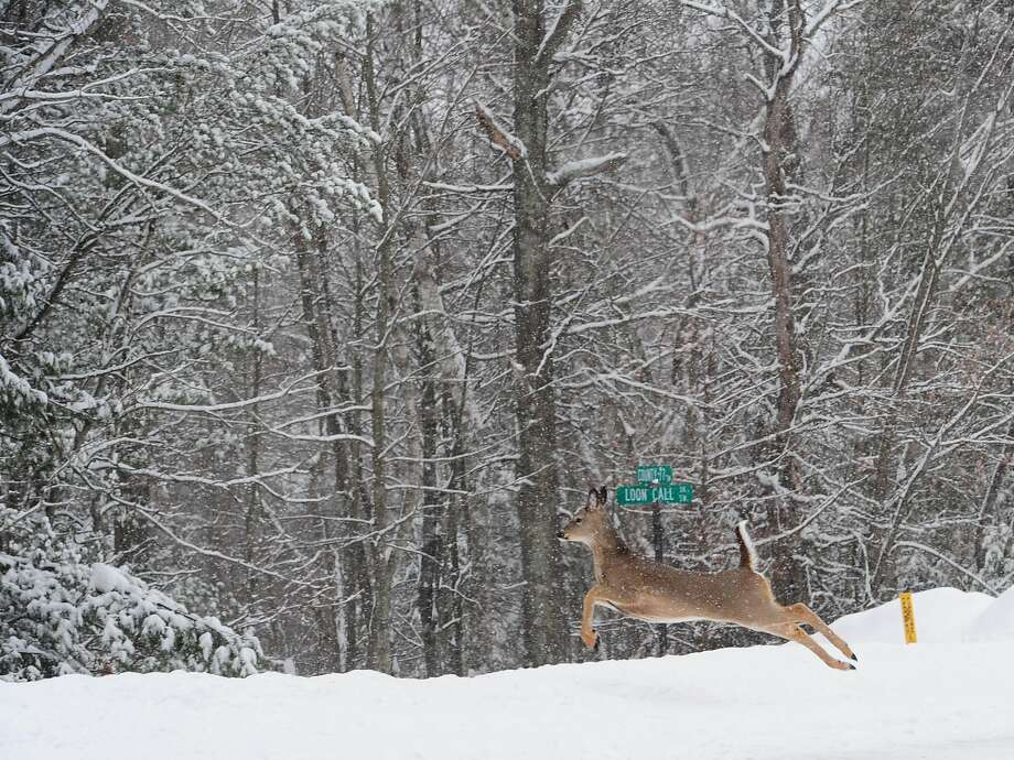 Doe in the snow: A white-tail bounds through four inches of fresh powder in Lake Shore, Minn. Photo: Steve Kohls, Associated Press