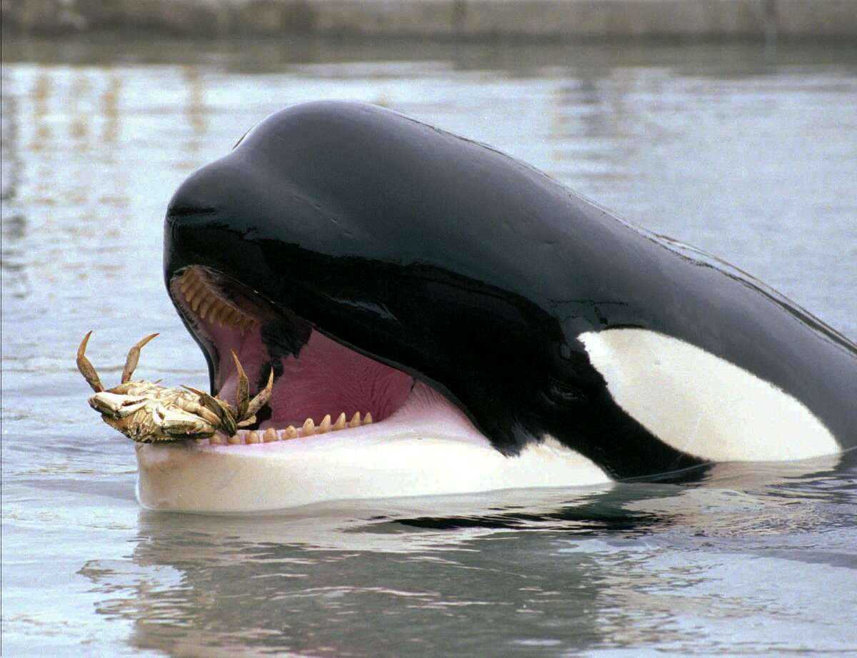 Keiko, the famous killer whale, carries a live crab in his mouth while cavorting in his pool at Oregon Coast Aquarium in Newport, Ore., Tuesday, June 9, 1998. (AP Photo/Don Ryan)