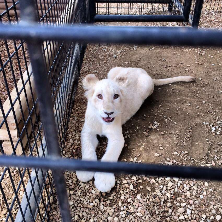 One of the white lion cubs at Animal World and Snake Farm Zoo is seen on Thursday, Feb. 20, 2014.