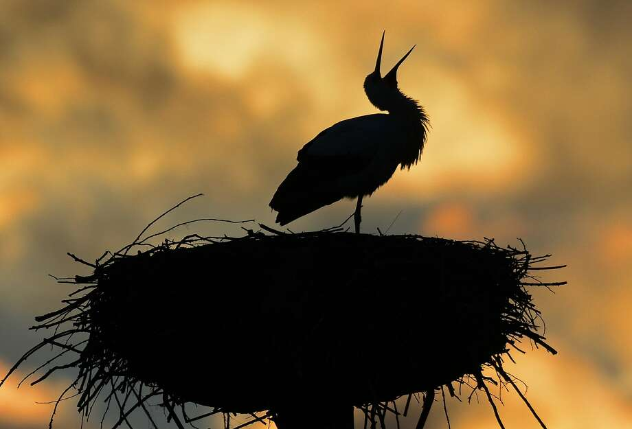Chatterbox: Storks have returned to Sandershausen, Germany, from their winter home much earlier than usual. And they're letting the locals know they're back. Photo: Uwe Zucchi, Associated Press
