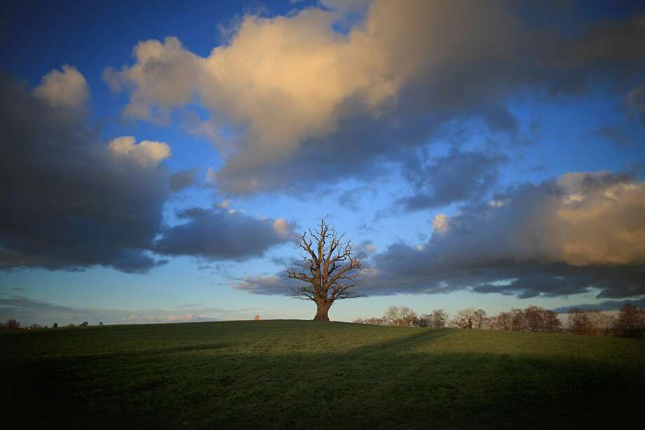 An ancient oakstands in a Shropshire field as the first signs of spring begin to show in Bridgnorth, England. After one of the wettest winters on 