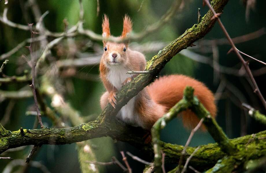 When the going gets tough,the tufted get going: A squirrel scouts for food in Hannover, Germany. Photo: Julian Stratenschulte, AFP/Getty Images