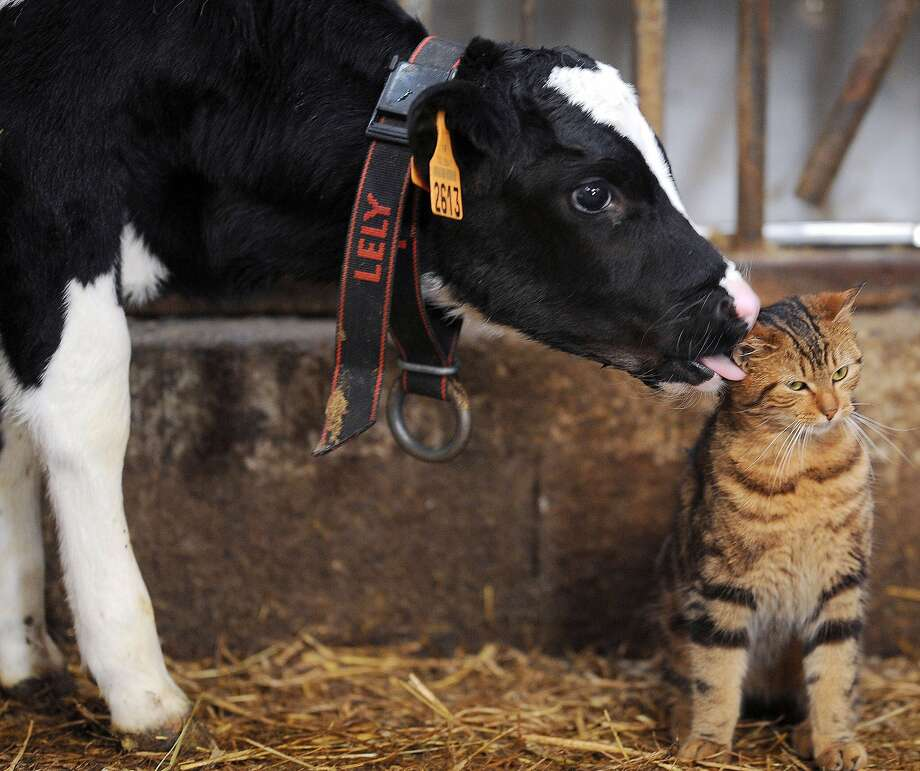 Troubled by an unruly cow lick?A bovine makes a beeline to lap a feline in Erbree, France. Photo: Jean-Francois Monier, AFP/Getty Images
