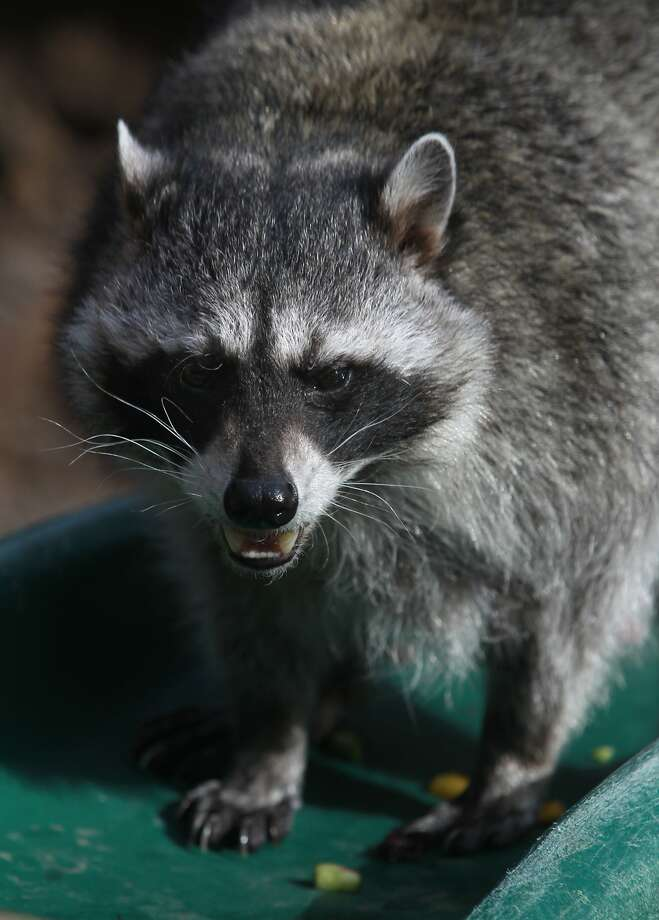 Merlin, who will turn 14 in two months, munches on snacks inside the raccoon enclosure at the CuriOdyssey nature museum in San Mateo, Calif. on Thursday, Feb. 20, 2014. Merlin is the oldest raccoon living in captivity and will be introduced to two new companions soon. Photo: Paul Chinn, The Chronicle