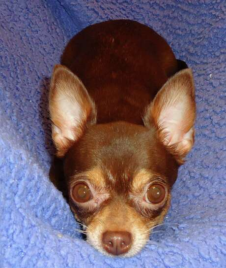 Brownie, a 4 year old Chihuahua who was turned in by her owner, who said they had too many animals. Brownie, true to her name is a very sweet girl.  She smiles most of the time and she loves to play. Photo: --