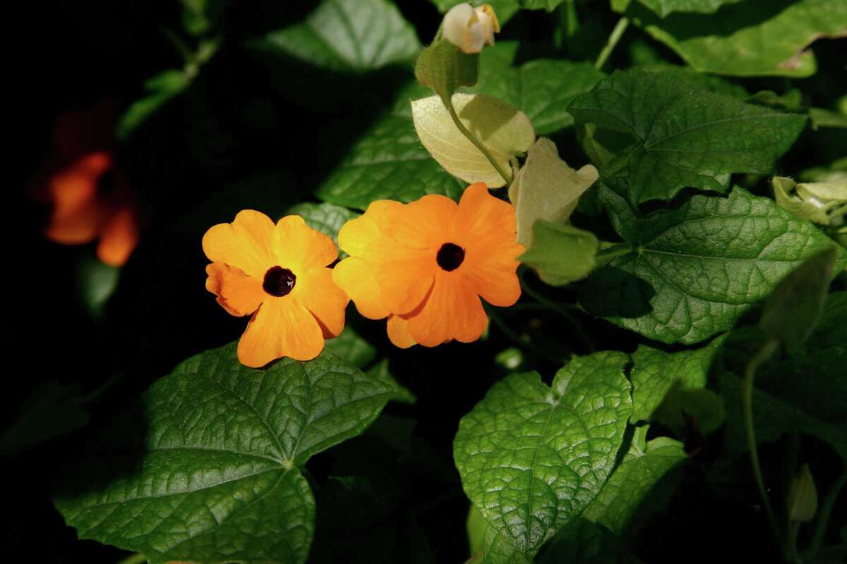 Black-eyed Susan vines flower throughout the warm months.