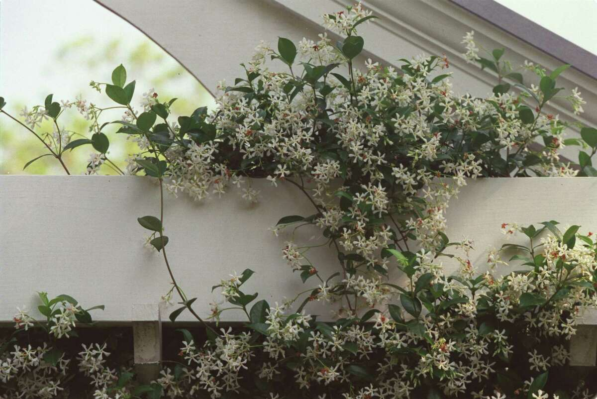 Star jasmine is an evergreen vine with highly fragrant white blooms in spring.