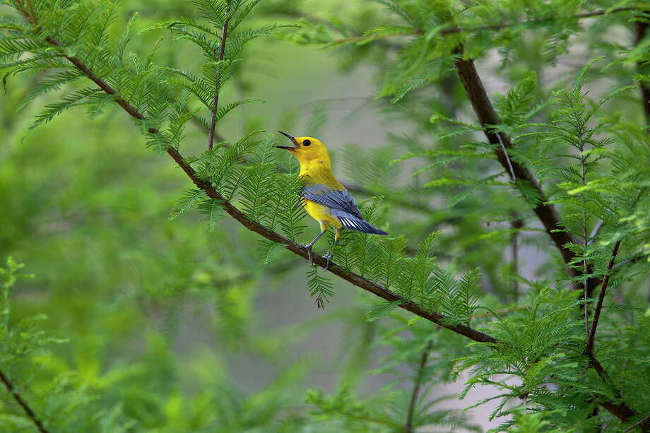 Prothonotary warbler breed in the spring at Jesse H. Jones Park in Humble.  Photo Credit:  Kathy Adams Clark.  Restricted use. Photo: Kathy Adams Clark / Kathy Adams Clark/KAC Productions
