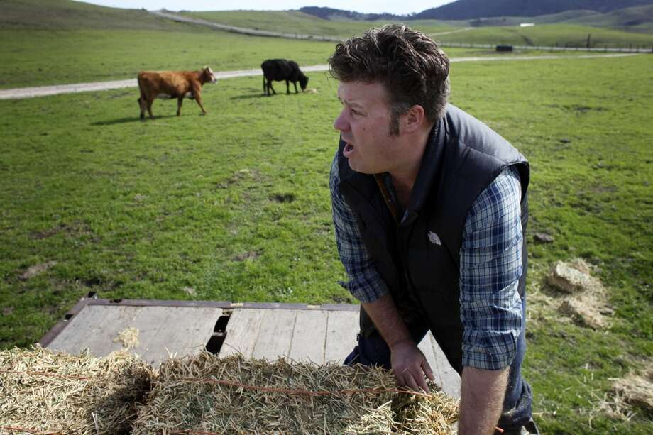 Marin Sun Farms founder David Evans calls for the cows as he feeds his cattle alfalfa, Thursday February 20, 2014, in Inverness, Calif. The drought has forced Marin Sun Farms, which is known producing only grass-fed beef, to start supplementing their feed with hay and corn. Photo: Lacy Atkins, The Chronicle
