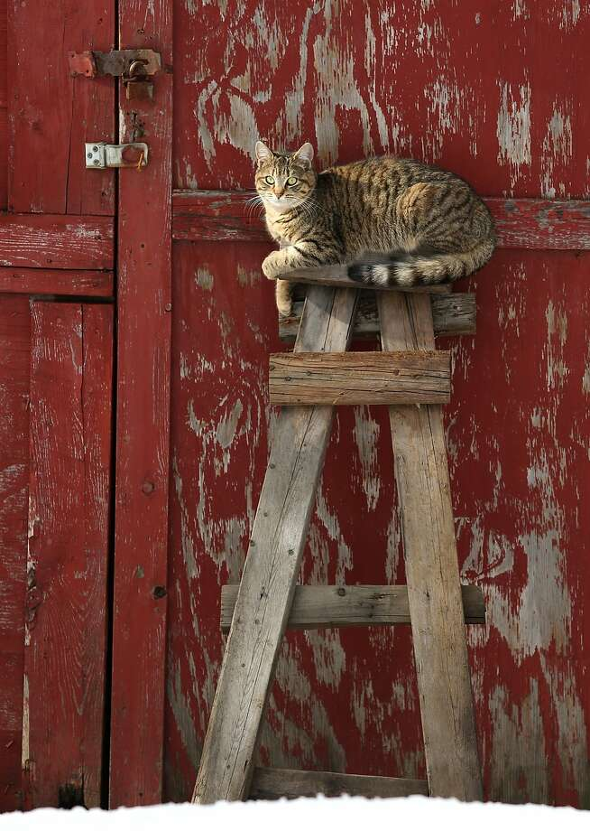 Warming herself in the sun, a tabby sits atop a crude ladder leaning against a barn in Scranton, Pa. Photo: Jake Danna Stevens, Associated Press