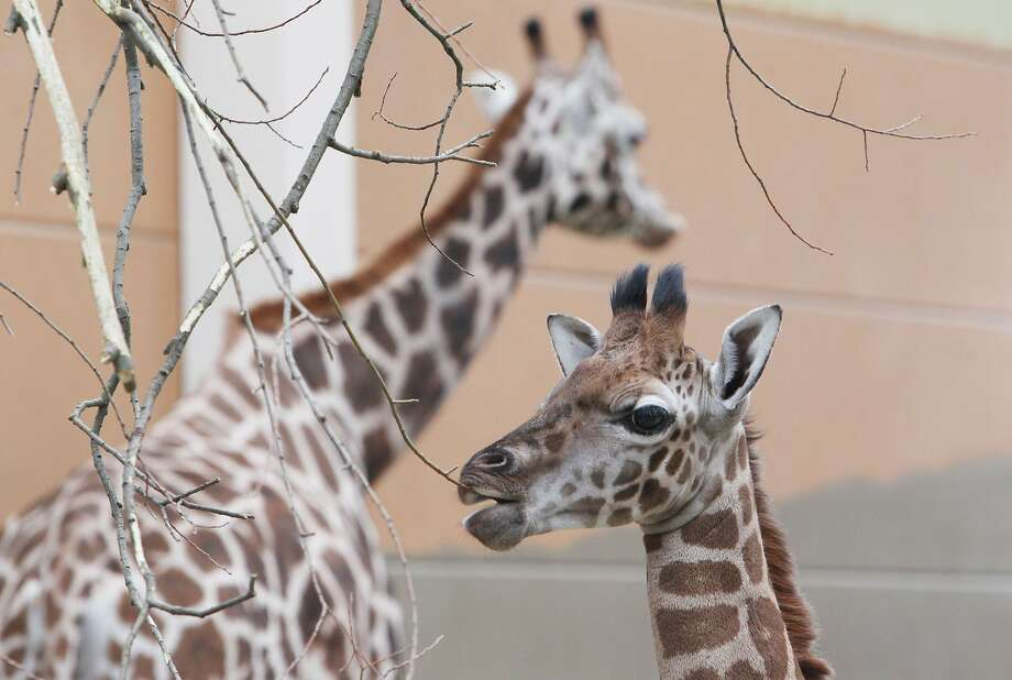 The foliage around here leaves a lot to be desired: Jamal, a baby Rothschild Giraffe,  