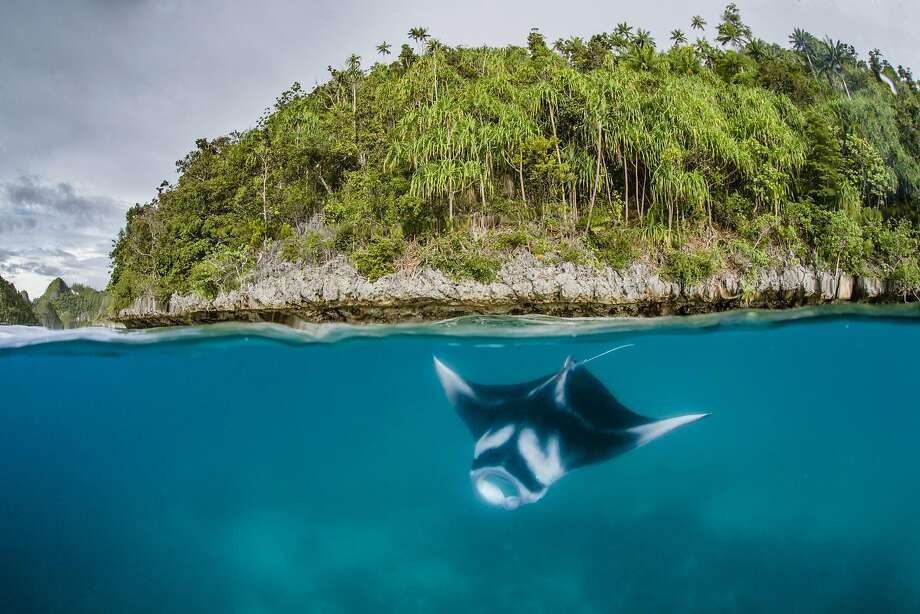 And speaking of rays: A manta ray cruises like a Stealth bomber through the waters of Raja Ampat in eastern Indonesia's remote Papua province. On Friday, Indonesia  became home to the world's biggest manta ray sanctuary, covering millions of square miles, as it seeks to protect the huge winged fish and draw more tourists to the sprawling archipelago. Photo: Shawn Heinrichs, AFP/Getty Images