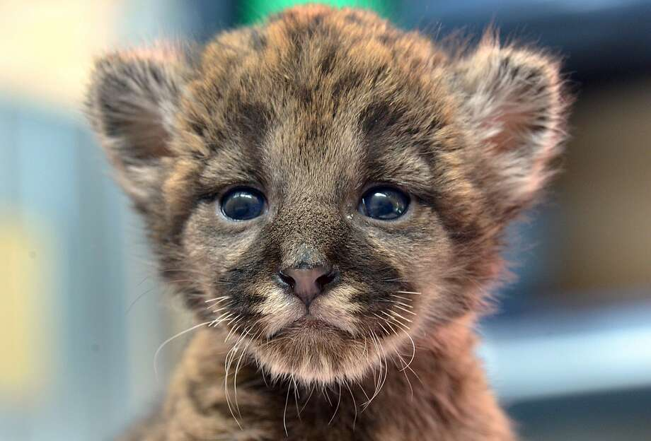 Florida Panther (non-skating variety):A rescued 4-week-old panther kitten being cared for by the Tampa Zoo is reportedly healthy, active and has an excellent appetite. Biologists say the tiny feline would have died if researchers hadn't discovered him in January at the Florida Panther National Wildlife Refuge in Collier County. Photo: Associated Press