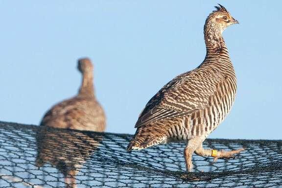 Prairie chickens walk on an acclamation pen at Attwater Prairie Chicken National Wildlife Refuge.