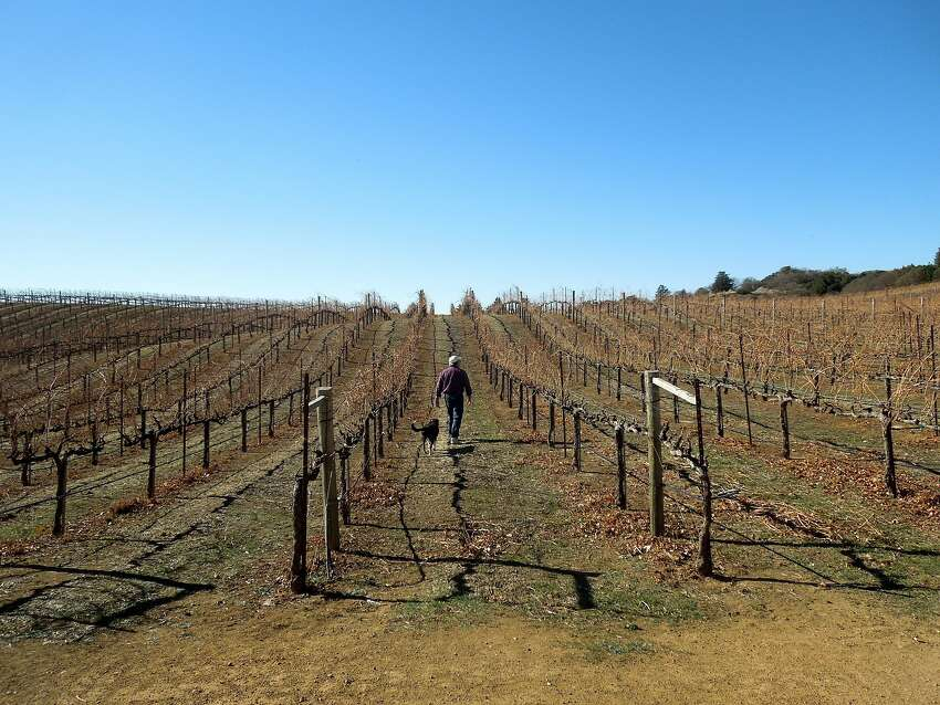 BobDog Wines' co-owner and winemaker Tim Ward walks the vineyards in Cloverdale with dog Cabernet.