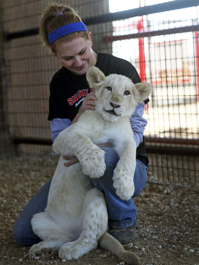 Animal trainer Jessica Darby has fun with a white lion cub at the New Braunfels Animal World and Snake Farm Zoo. There are fewer than 300 white lions in the world. Photo: Photos By Tom Reel / San Antonio Express-News