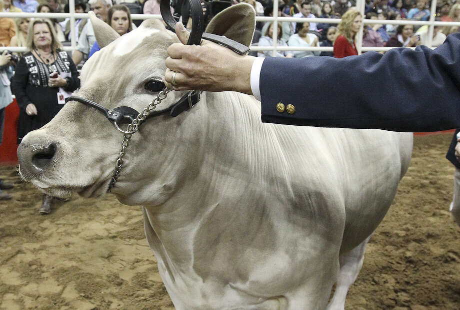 The All Other Breeds (AOB) steer belonging to Braeden Brooks Raub of Lampasas FFA was selected as this year's grand champion at the 2014 San Antonio Stockshow and Rodeo at the AT&T Center on Friday, Feb. 21, 2014. Beaner beat out over 1,419 other animals in this year's competition. Photo: Kin Man Hui, San Antonio Express-News / ©2013 San Antonio Express-News