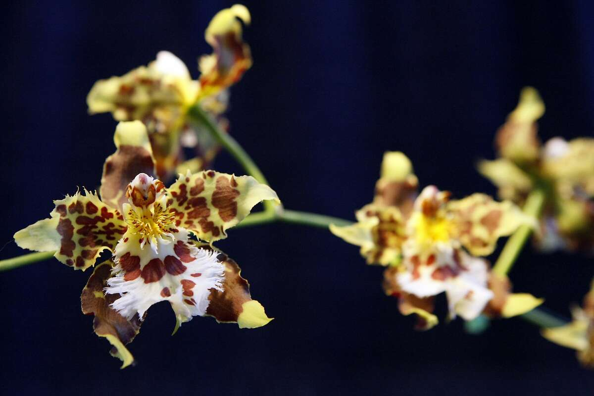 More than 150,000 orchids are being exhibited and sold at the showcase.