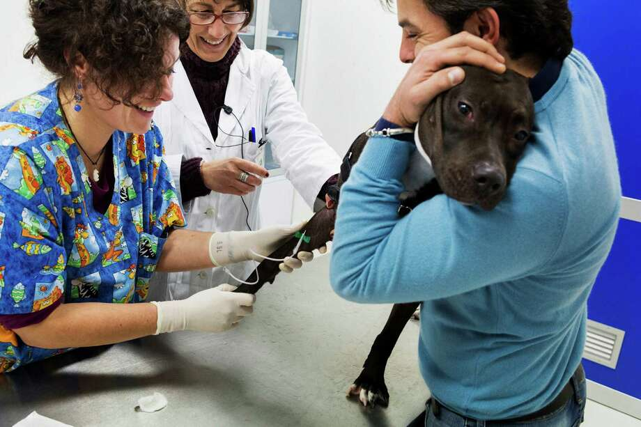 Fiona, a pitbull, has blood drawn for a DNA database to track down owners who do not pick up after pets, at a veterinary hospital in Naples, Italy, Jan. 22, 2014. Although some officials were not amused, many Neapolitans welcomed a new campaign to track down owners who do not pick up after their dogs. (Gianni Cipriano/The New York Times) ORG XMIT: XNYT59 Photo: GIANNI CIPRIANO / ©2013 Gianni Cipriano