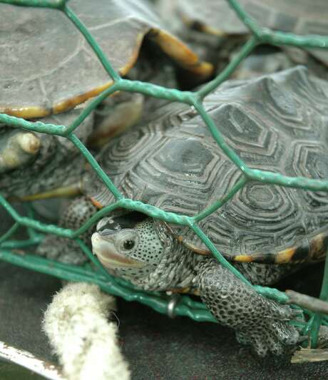 """Diamondback terrapins are one of more than 40 species of marine life that falls victim to derelict crab traps in Texas bays. Through March 2, any of the wire cages found in Texas coastal waters are considered """"litter"""" and can be removed as part of an annual program that has removed more than 30,000 of the destructive traps. Photo: Shannon Tompkins, Staff / Houston Chronicle"""