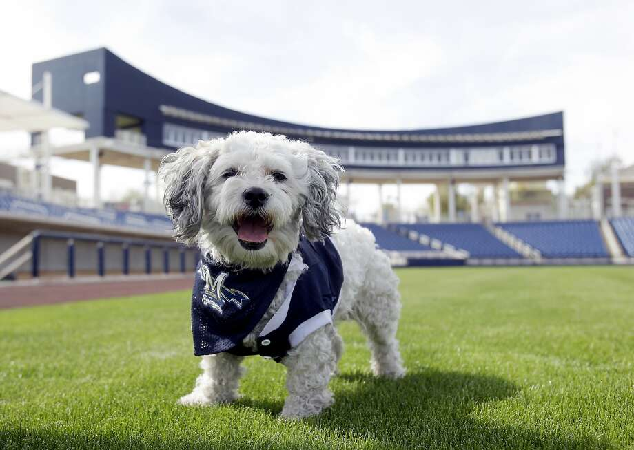 In this Feb. 22, 2014 photo, Milwaukee Brewers mascot, Hank, is at the team's spring training baseball practice in Phoenix. The team has unofficially adopted the dog and assigned the name ?Hank? after baseball great Hank Aaron. (AP Photo/Rick Scuteri) Photo: Rick Scuteri, Associated Press