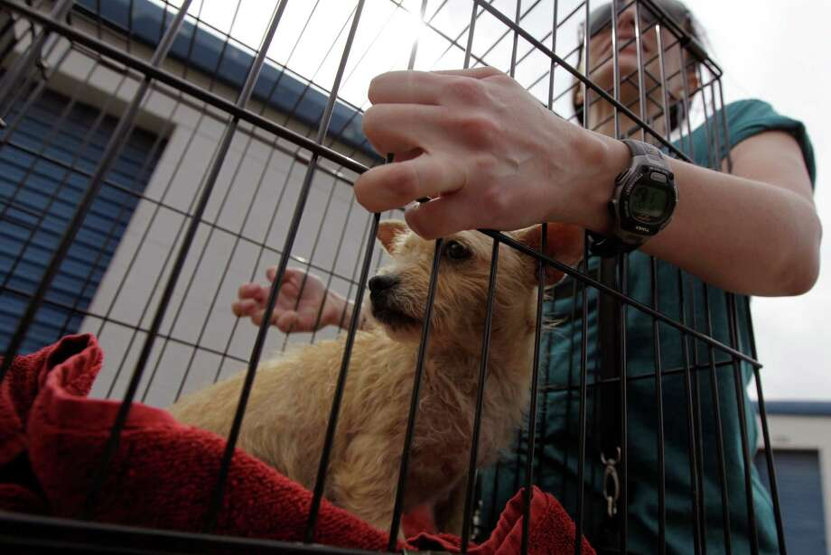 Larrisa Gavin, a volunteer with the Corridor Rescue, brings in a stray dog she found alongside the road on Saturday. Photo: J. Patric Schneider, Freelance / © 2014 Houston Chronicle