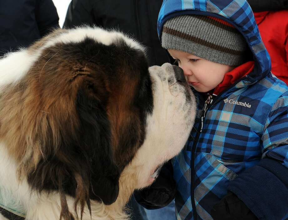 Nose rubbers: In Anchorage, Alaska, L.T. the heavyweight champion St. Bernard eskimo-kisses Harrison Bursi the boy, almost 2. Photo: Bob Hallinen, Associated Press