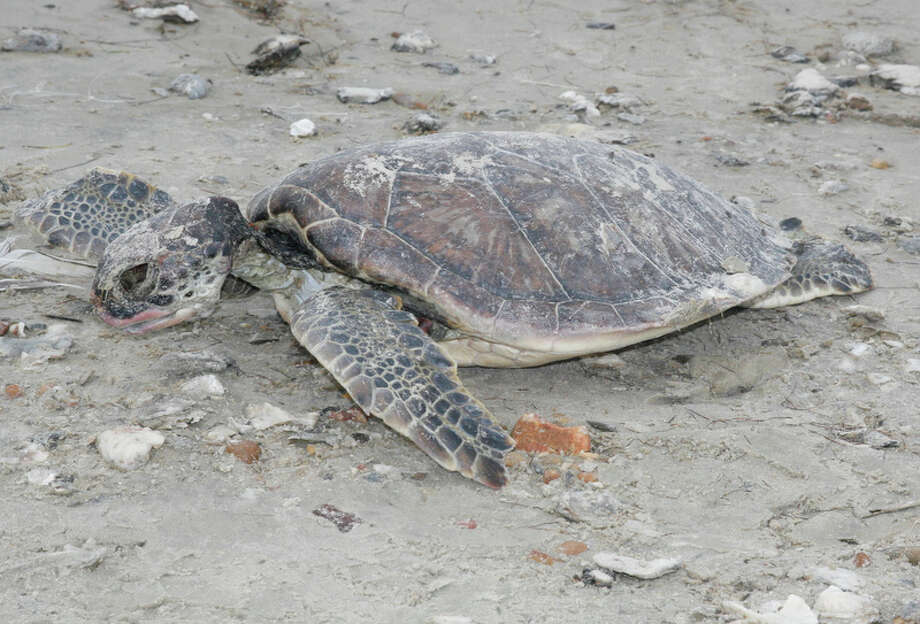 While Texas' coastal fisheries avoided significant losses from this winter's severe cold fronts, about  1,100 cold-stunned sea turtles were found in Texas bays with at least 200 of them, like this young green sea turtle, suffering fatal effects of the cold.     Houston Chronicle photo by Shannon Tompkins Photo: Shannon Tompkins, HC Staff / Houston Chronicle