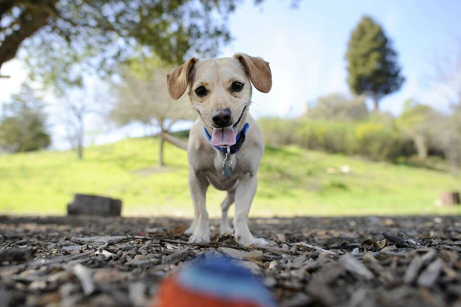 Benji eyes his ball at William D. Wood Park, which does not allow dogs, in the Dimond neighborhood of Oakland. Photo: Michael Short, Special To The Chronicle