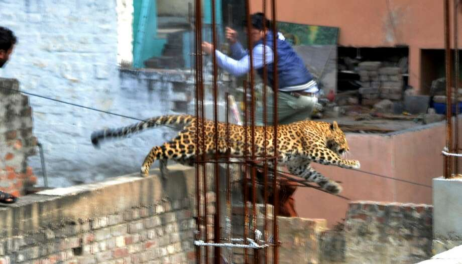A lost leopard leaps across a wall of a building under construction in the Degumpur 