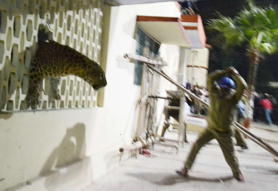 Heeeeere's kitty! The leopard squeezes through a hole in the wall of the Meerut Cantonment 