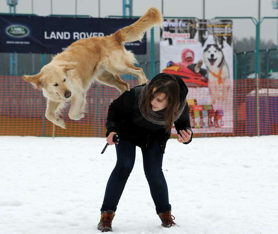 A golden retriever plays leapfrog with its human at the Zavirukha (Snow Storm) international dog sled race in Minsk. Photo: Viktor Drachev, AFP/Getty Images