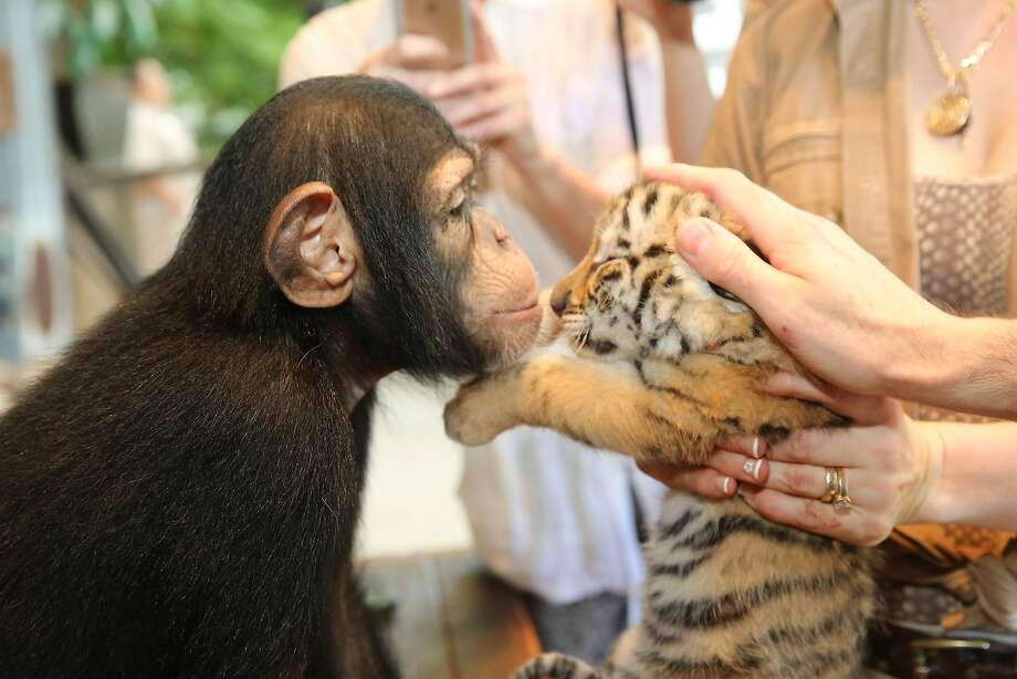 Everyone likes nuzzling a baby tiger, even chimpanzees. (Food Network South Beach Wine & Food Festival in Miami, Florida.) Photo: Aaron Davidson, Getty Images