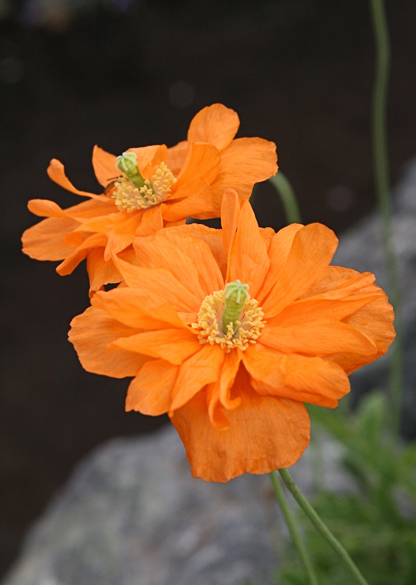 Dont Overlook The Moroccan A Pretty Perennial Poppy Sfgate