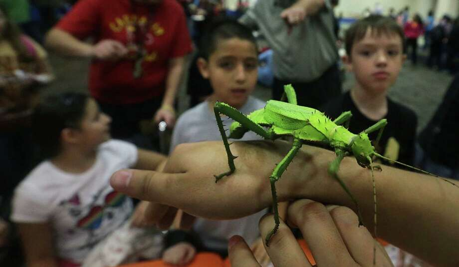 A jungle nymph walking stick from Malaysia crawls along a handler's arm under the close watch of Carnahan Elementary School students Azira Ortega (from left), Antonio Temores and Addison Paulos at the insect expo. Photo: Bob Owen / San Antonio Express-News / © 2012 San Antonio Express-News