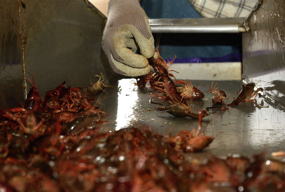 Crawfish is sorted by size and quality at the Doguet's crawfish farm on Monday.   Photo taken Monday, February 24, 2014 Guiseppe Barranco/@spotnewsshooter Photo: Guiseppe Barranco, Photo Editor