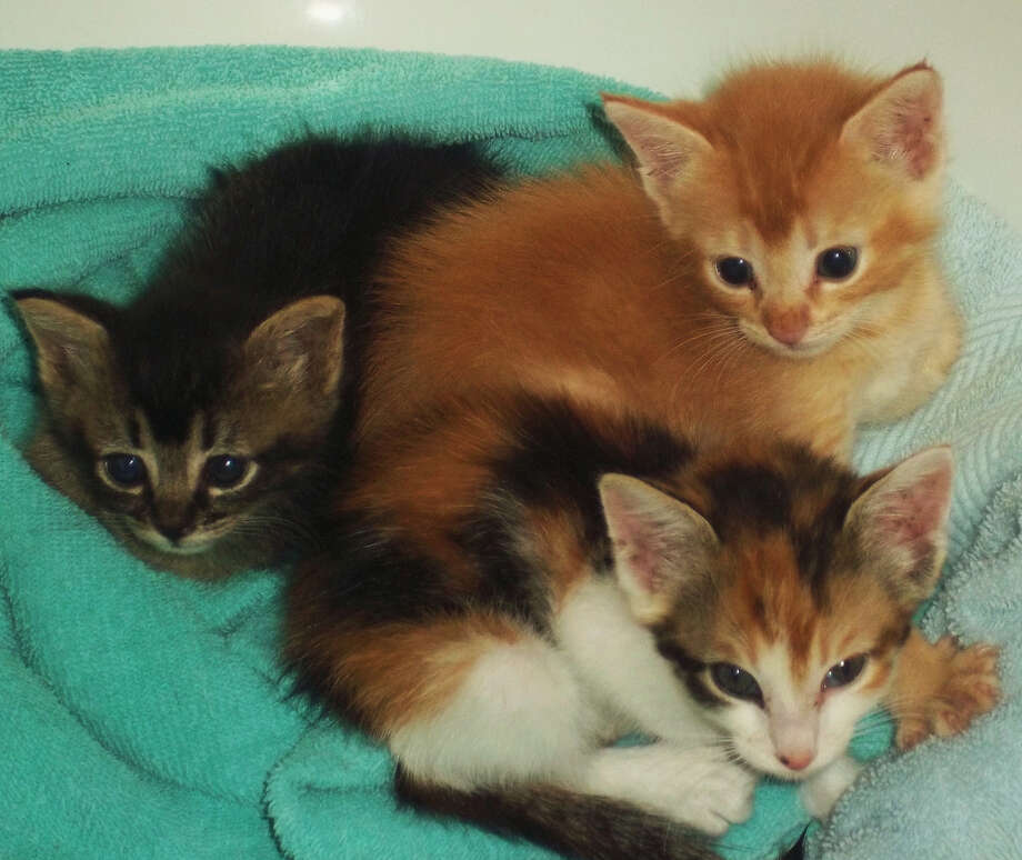 The Helotes Humane Society will offer a class on rescuing and fostering kittens Tuesday. Photo: Courtesy Photo