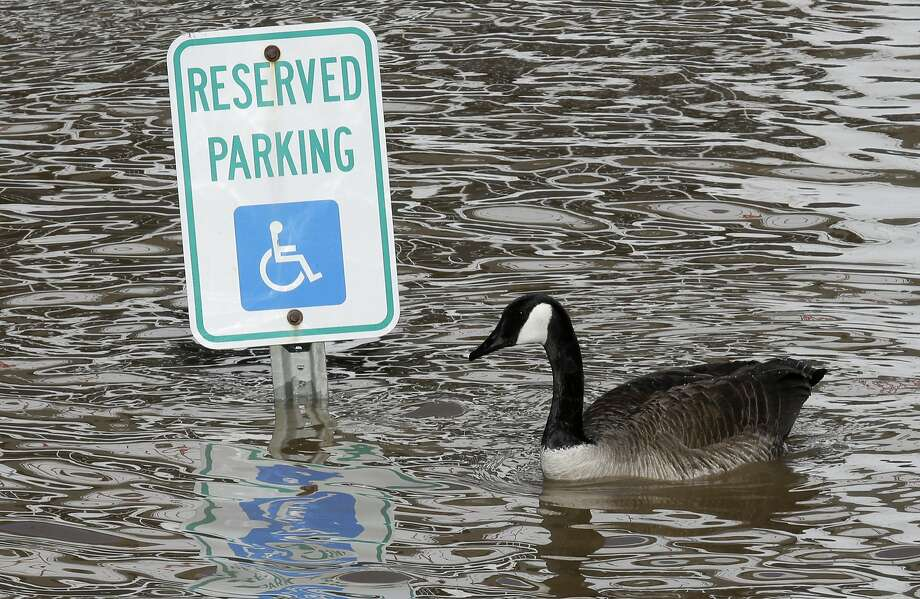 I have a bum left wing, OK? A Canada goose looks for a place to park in Cincinnati. Photo: Al Behrman, Associated Press