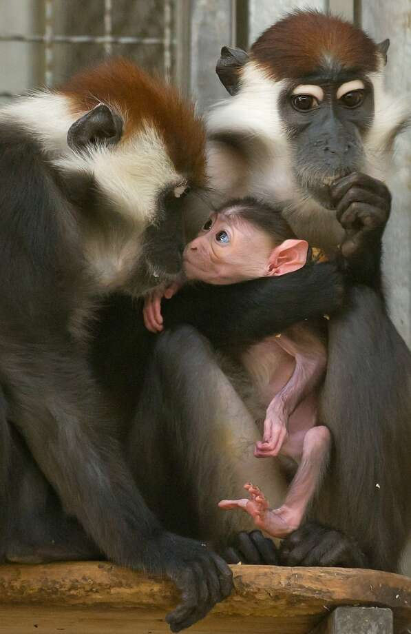 Come and see the baby! A collared mangabey monkey named Sina holds her infant as a friend, Gina, gets acquainted with the bald little gremlin. Photo: Tim Brakemeier, AFP/Getty Images