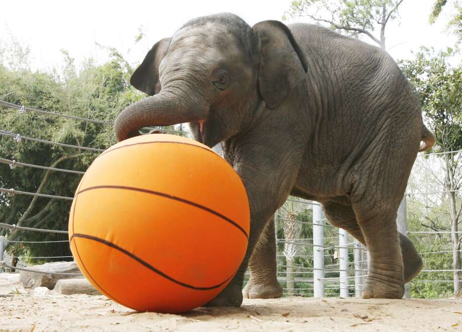 """Mac, a five-month old Asian elephant calf, plays """"Mac Ball"""" with an oversized basketball Thursday, March 1, 2007 at the Houston Zoo in Houston.  Mac gained four pounds since yesterday and weighed in today at 708 pounds. The Houston Zoo will host a """"Go Wild Animal Enrichment"""" days March 3 and 4.  This is an enterprise photo. ( Kevin Fujii / Chronicle ) Photo: Kevin Fujii, Houston Chronicle"""