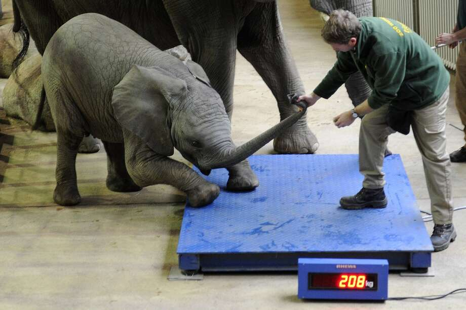 "TOPSHOTS A keeper tries to persuade baby elephant ""Uli"" to step on the scales during inventory on December 29, 2011 at the zoo in Wuppertal, western Germany. Almost 5,000 animals living at the zoo are to be counted, measured and weighed. AFP PHOTO/ MARIUS BECKER     ***GERMANY OUT*** (Photo credit should read MARIUS BECKER/AFP/Getty Images) Photo: MARIUS BECKER, Getty"