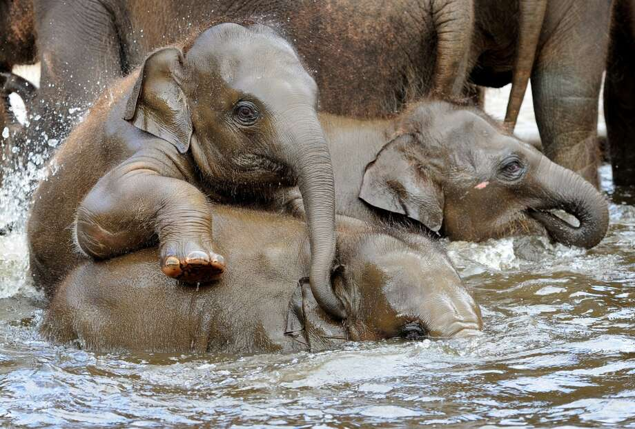 Asian elephants take a bath in a pool at the zoo in Hanover, northern Germany, on April 27, 2012. Five baby elephants are raised in the zoo Hanover.  AFP PHOTO / HOLGER HOLLEMANNHOLGER HOLLEMANN/AFP/GettyImages Photo: HOLGER HOLLEMANN, AFP/Getty Images