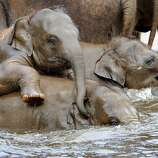 Asian elephants take a bath in a pool at the zoo in Hanover, northern Germany, on April 27, 2012. Five baby elephants are raised in the zoo Hanover.  AFP PHOTO / HOLGER HOLLEMANNHOLGER HOLLEMANN/AFP/GettyImages