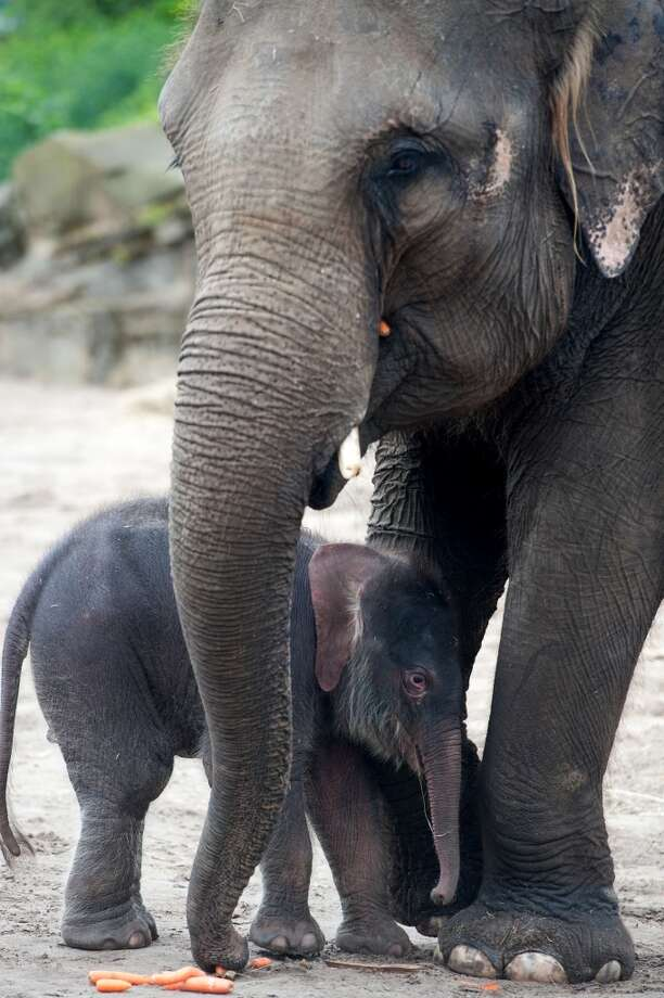 A Baby elephant and it's mother Kewa explore the open-air enclosure at the zoo in Berlin, Germany, on June 5. The elephant baby was born on May 31. AFP PHOTO / SEBASTIAN KAHNERT GERMANY OUTSebastian Kahnert/AFP/GettyImages Photo: SEBASTIAN KAHNERT, AFP/Getty Images