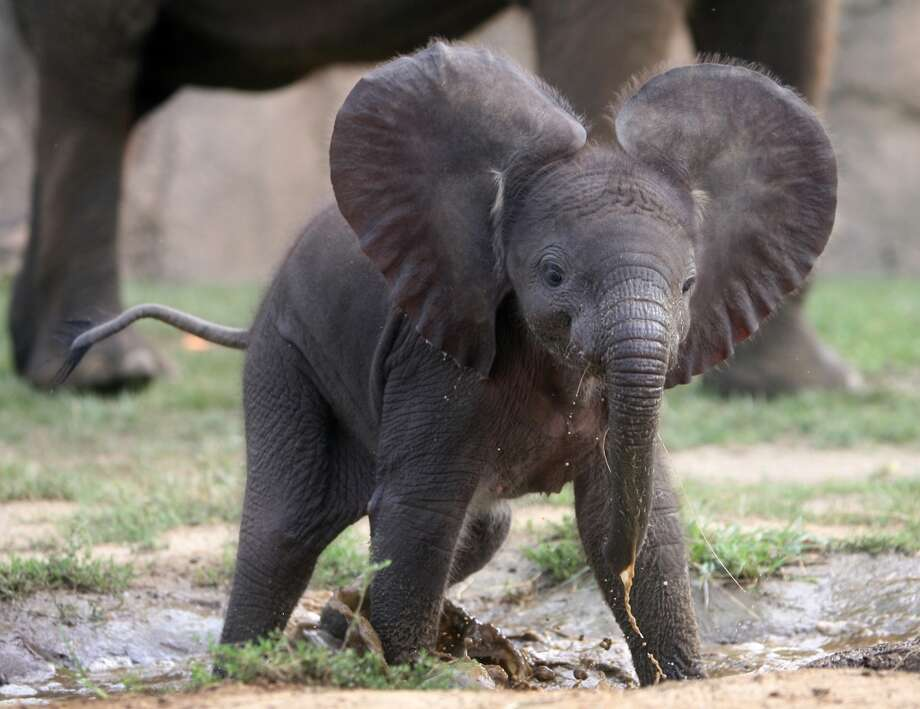 The Indianapolis Zoo's new African elephant calf, born on July 20, plays in her exhibit  on Tuesday, Aug. 2, 2011 in  Indianapolis.  (AP Photo/The Indianapolis Star, Olivia Corya) Photo: Olivia Corya, Associated Press