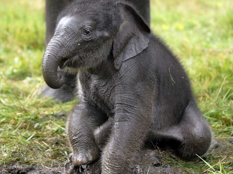 Chuck, a three-week-old Asian elephant, plays at the African Lion Safari on Tuesday, Aug. 5, 2008.  The rare Asian elephant is the first third-generation calf born on the continent.  (AP Photo/Brent Davis,The Record via The Canadian Press)  **ONLINE OUT; NO SALES** Photo: Brent Davis, AP